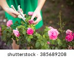 Stock photo girl cuts or trims the bush rose with secateur in the garden 385689208