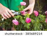 Stock photo girl cuts or trims the bush rose with secateur in the garden 385689214