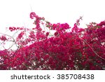 Bougainvillea Tree Against...