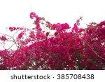 Bougainvillea Tree Against...