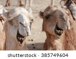 Two Camels In The Libyan Deser...