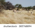Group Of Springbok In Dry...