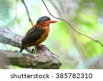 Small photo of Blue-capped Kingfisher or Hombron's kingfisher (Actenoides hombroni) female in Mindanao, Philippines