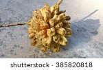 Small photo of Phytocrene bracteata is a native liana in Singapore. Its fruits are covered with lots of irritating hairs. It is an aggregate fruit that means it contains a number of fruitlets or small fruits.