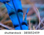 Close-up of a Blue jay feather (Cyanocitta cristata)