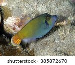 Small photo of Orangetail filefish in Bali sea, Indonesia