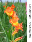 Orange And Yellow Gladiolus...