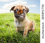 Stock photo a cute chihuahua pug mix puppy chug looking at the camera with and a butterfly on her nose in a 385891750