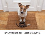 Stock photo jack russell dog waiting a the door at home with leather leash ready to go for a walk with his 385892248