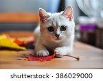 british kitten on the table   Shutterstock . vector #386029000