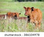 Red Angus Bull Calf...