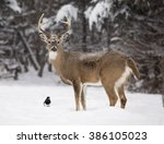 Alert  White Tailed Deer Buck ...