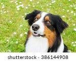 Australian Shepherd Dog Lookin...