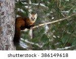 Pine Marten Out On A Tree Limb