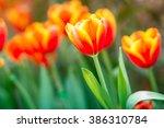 tulip beautiful bouquet of... | Shutterstock . vector #386310784
