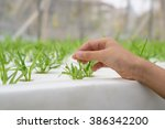 hydroponics method of growing... | Shutterstock . vector #386342200