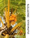 Yellow Coco On Coconut Tree