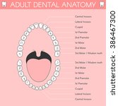 adult teeth anatomy. vector... | Shutterstock .eps vector #386467300