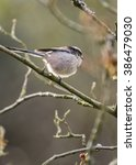 Small photo of Long Tailed Tit (Aegithalos caudatus) spotted in National Botanic Gardens, Dublin