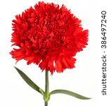 Red Carnations Flower Isolated...