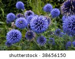 The Globe Thistle  Veitch\'s...