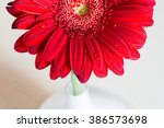 Red Gerbera Flower In A White...