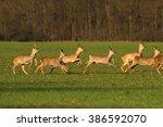 The European Roe Deer Herd...