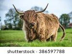 Windswept Highland Cattle...