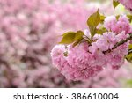 delicate pink flowers blossomed on Japanese cherry trees - stock photo
