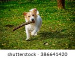 Jack Russell Terrier Dog...