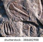 Prehistoric Fossiled Trilobite...