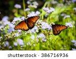 Monarch Butterflies Texas Fall...