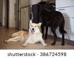 portrait of a happy husky dog