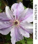 Pale Purple Clematis Flower ...