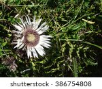 Small photo of Alpine Thistle