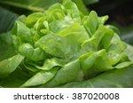 the green lettuce vegetable for ...   Shutterstock . vector #387020008