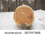 Cut Felled Pine Trees In The...
