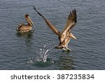 Two Brown Pelicans In The Wate...