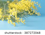 Spring Yellow Flower Mimosa On...