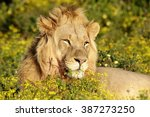 a big male lion in beautiful... | Shutterstock . vector #387273250