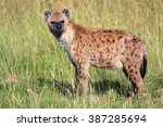 young spotted hyena at the... | Shutterstock . vector #387285694
