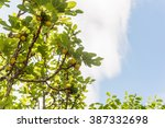 Fig Tree And Green Figs  ...