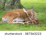 White Tailed Doe Cleans Off He...