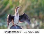 A Reed Cormorant Standing With...