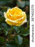 Beautiful Yellow Rose Flower I...