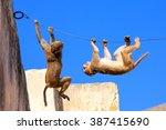 Rhesus Macaques  Macaca Mulatt...