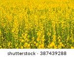 flower crotalaria  romantic... | Shutterstock . vector #387439288
