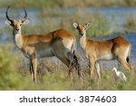 Two Female Red Lechwe Antelope...