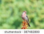 A House Finch Perched Upon A...