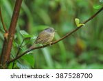 Small photo of Beautiful bird, Brown-cheeked Fulvetta, Grey-eyed Fulvetta (Alcippe poioicephala) in nature of Thailand.